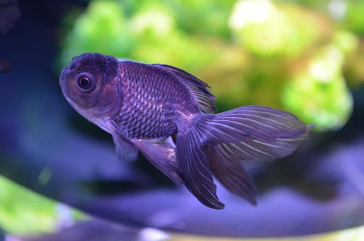 DSC_7753s30青文魚