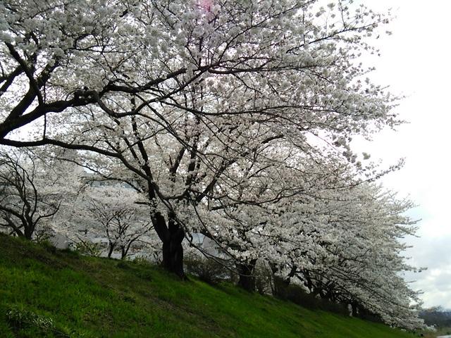 入間川の河原は絶好の桜ポイント!