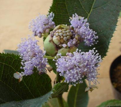 紫タマアジサイ