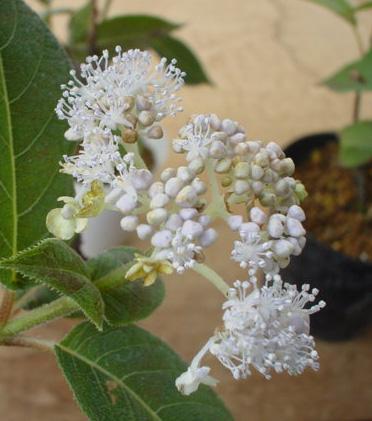 緑花咲タマアジサイ