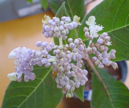 緑花咲タマアジサイ2