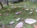 コノハノテガミ