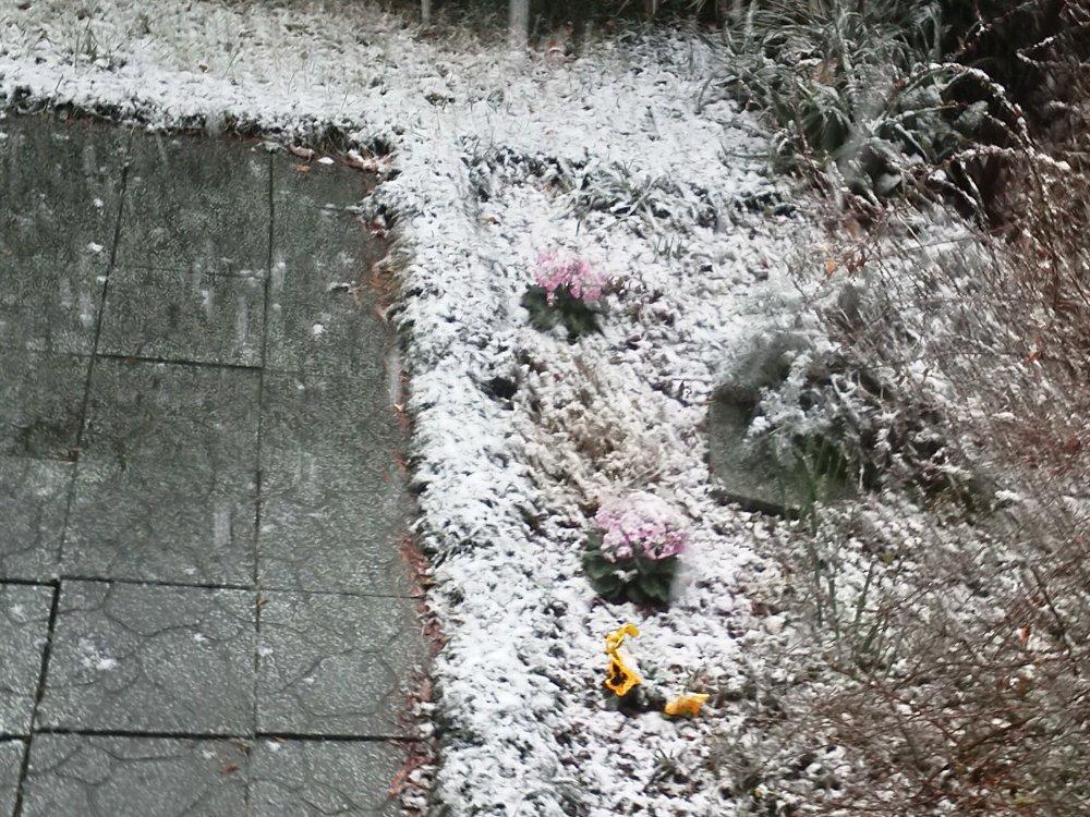 F1001458庭の初雪2月4日桜草パンジー