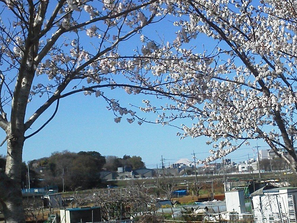 F1000128黒目川桜と富士
