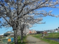 F1000127黒目川桜