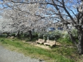 F1000133黒目川桜