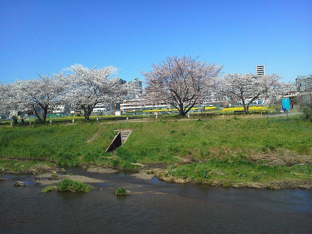 F1000137黒目川桜と花広場