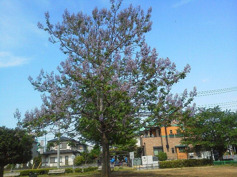 F1000252中道公園桐の花