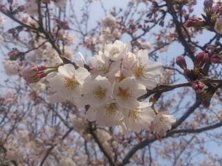 大好きな桜ちゃん