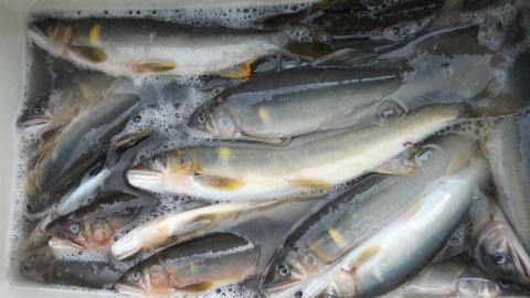 26日那珂川上流1日半の釣果50尾