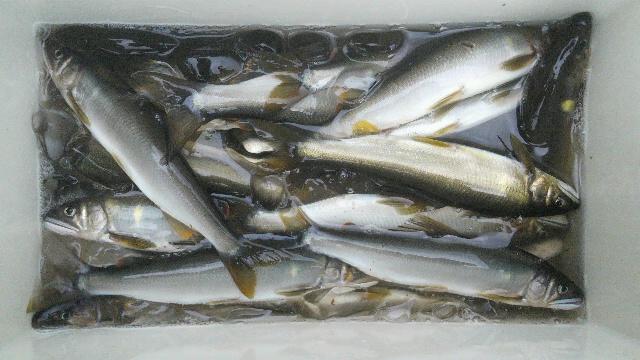 8月29日那珂川上流の釣果クーラーボックス