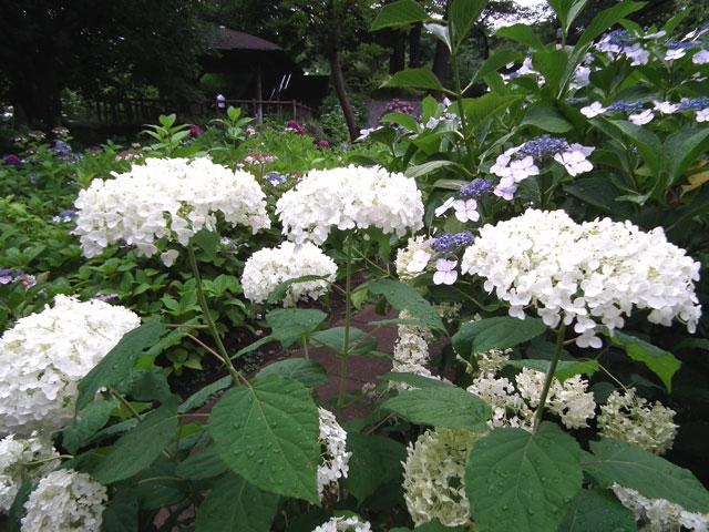 多摩川台公園の紫陽花(1)