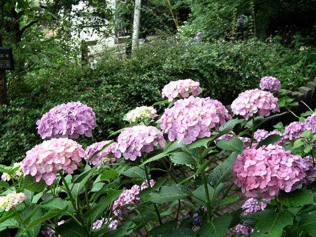 多摩川台公園の紫陽花(3)
