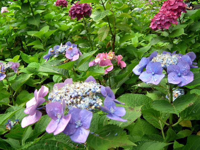 多摩川台公園の紫陽花(4)