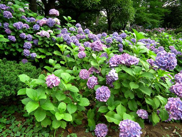 多摩川台公園の紫陽花(5)