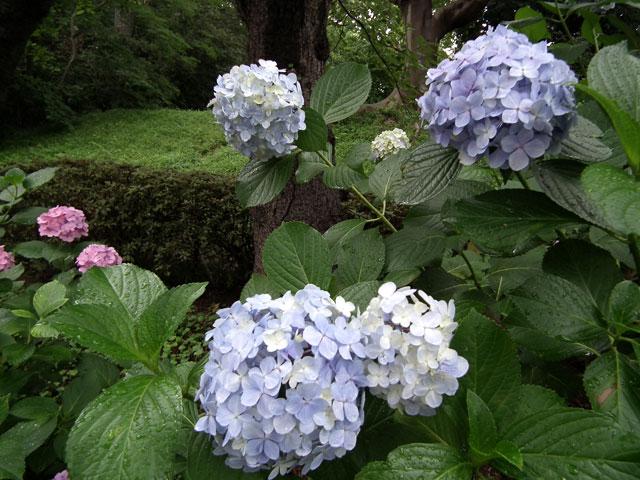 多摩川台公園の紫陽花(6)