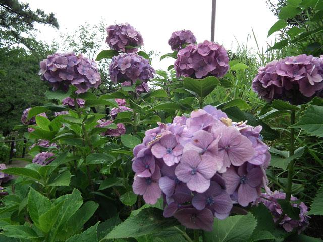 多摩川台公園の紫陽花(7)