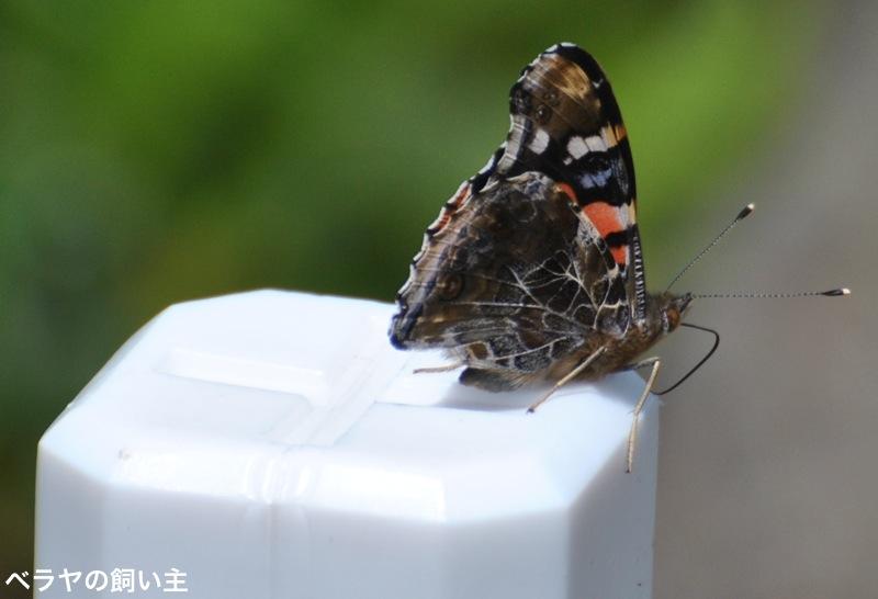 BNK_アカタテハ_DSC_0514