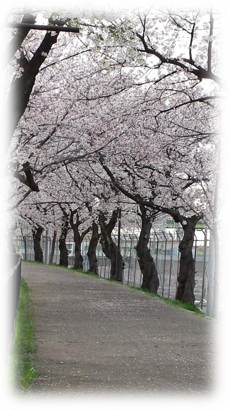 近くの桜並木
