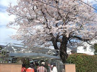 ロア・レギュームの満開の桜