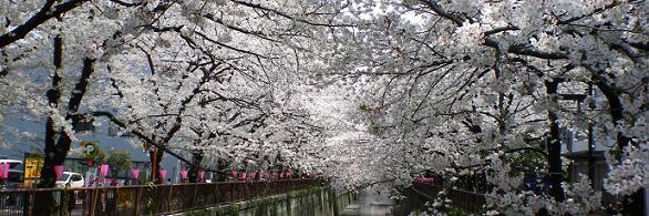 cherry_megurogawa.jpg