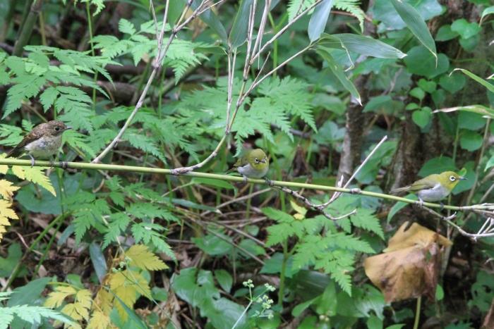 キビタキ幼鳥&メジロ2607_1