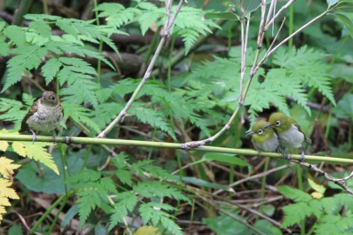 キビタキ幼鳥&メジロ2607_2