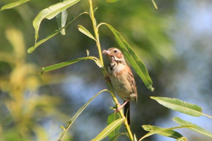 ホオアカ幼鳥2608