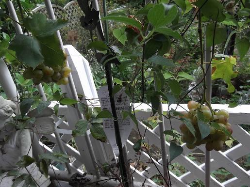 grape 019