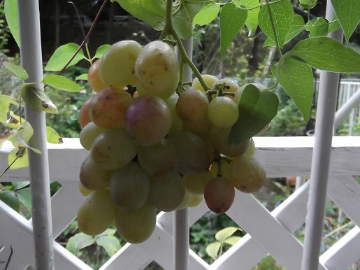 grape 008