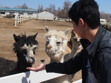 alpaca04.jpg