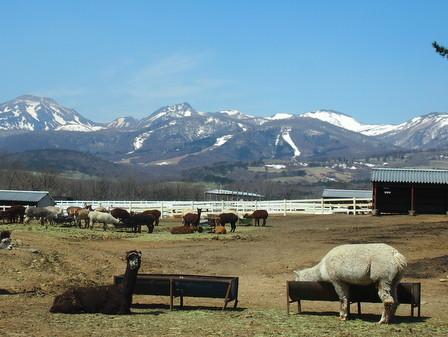 alpaca12.jpg