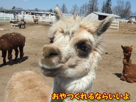 alpaca15a.jpg