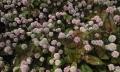 植物-花-ヒメツルソバ-20140506-57
