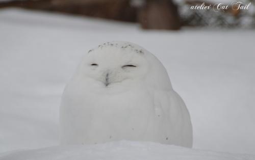 白フクロウ♪