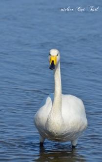 2014濤沸湖の白鳥ちゃん♪