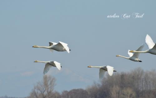 2014濤沸湖の白鳥ちゃん♪④