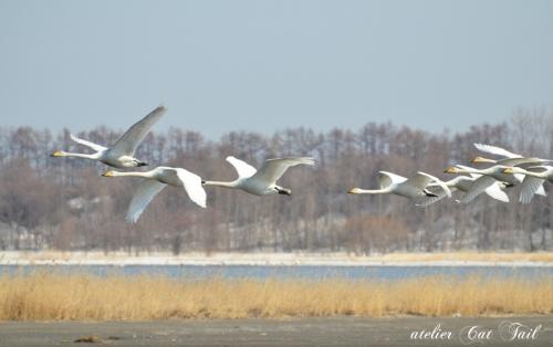 2014濤沸湖の白鳥ちゃん♪③