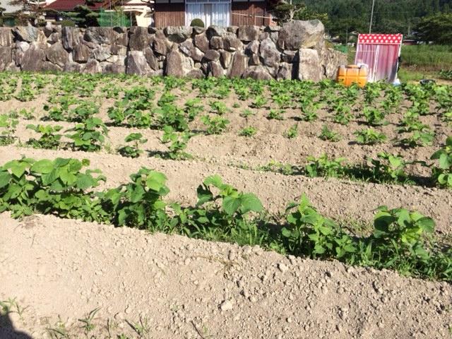 黒豆除草済