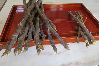 イチジクの挿し木
