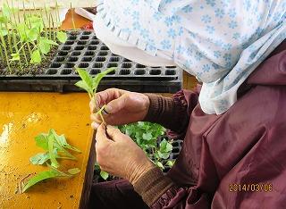 茄子の接木作業