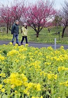 菜の花と紅梅