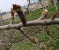 洋梨も芽が動く