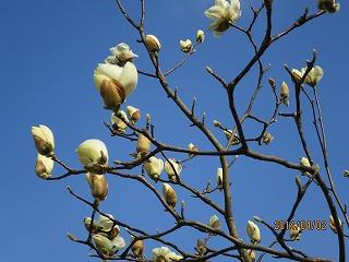 白モクレン開花