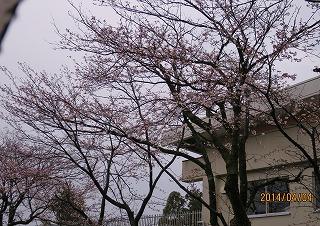 福島保育所の桜