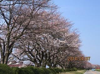 冨山大橋近くの桜