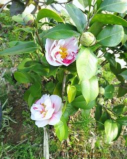 椿の花咲く