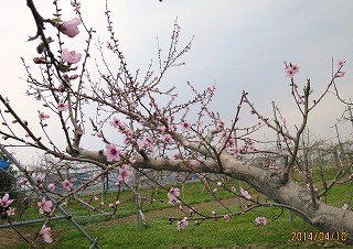 桃開花採用