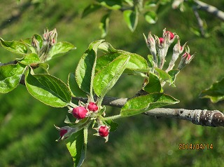 りんごの蕾