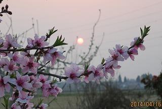 桃畑から日の出